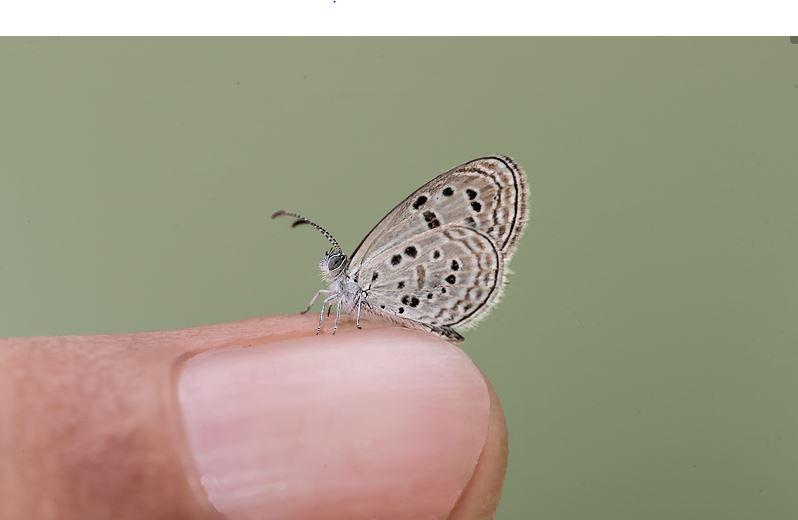 Sinai Baton Blue Butterfly