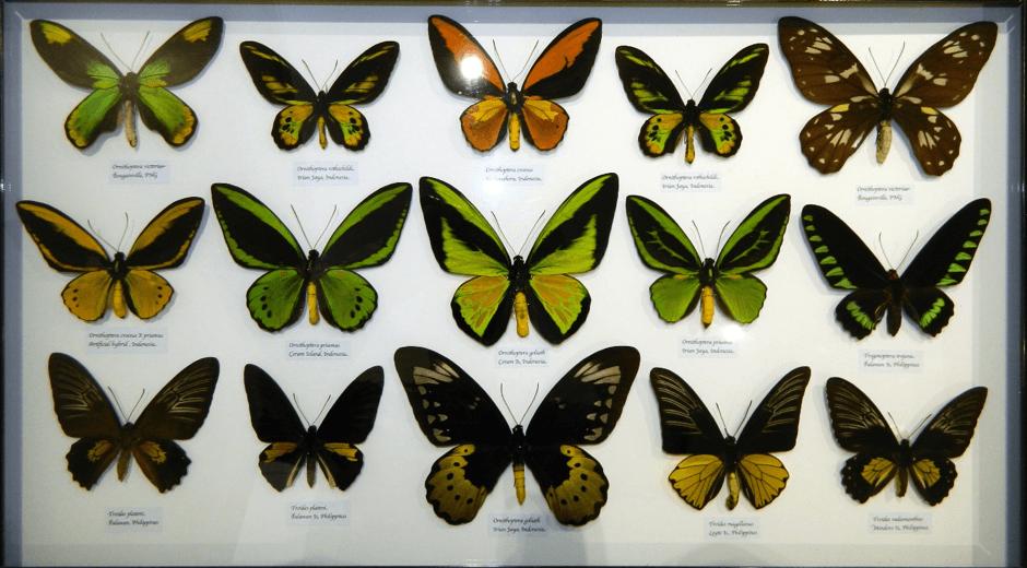 Birdwing butterfly display