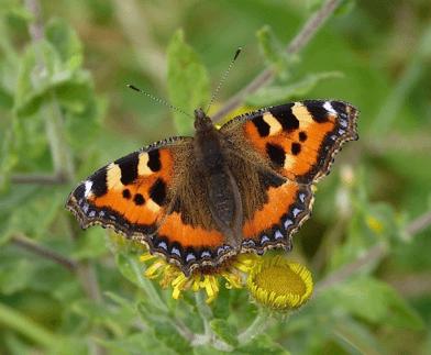 britains butterflies