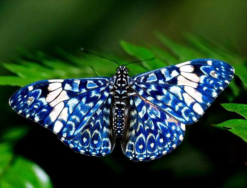 red cracker blue butterfly